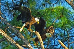 Eagle-Pair-Paul Allen